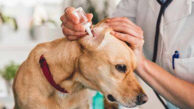 Köpeklerde Uyuz Hastalığı Hakkında Bilinmesi Gerekenler