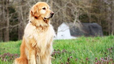Köpeklerin Boyu Ne Zamana Kadar Uzar?