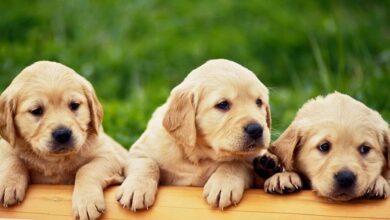 Hangi Köpekler Tüy Dökmez?