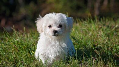 Köpekler Kaç Yaşında Sakinleşir?