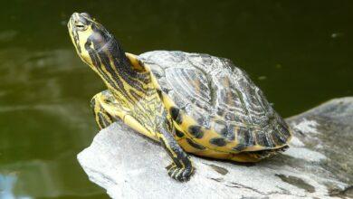 Su Kaplumbağalarında Kabuk Deformasyonu