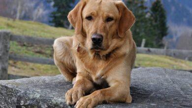Köpeklerin Cinsiyeti Nasıl Anlaşılır?