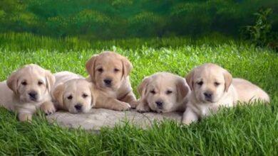 Köpekler Doğuştan Kısır Olur Mu?