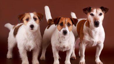 Jack Russell Terrier Özellikleri ve Bakımı
