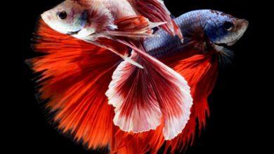 Kavgacı Siyam Balığı