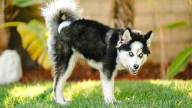 Pomsky Köpek Irkı Özellikleri ve Bakımı
