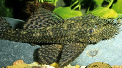 Akvaryumun İdeal Balıkları: Cüce Vatozlar