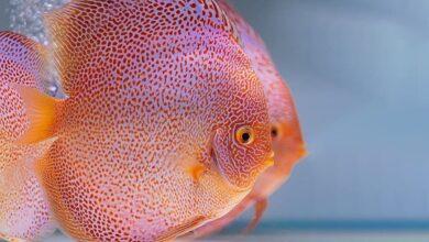 Akvaryumun Kralı: Discus Balığı