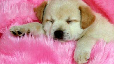 Yavru Köpekler Ne Zaman Havlamaya Başlar?