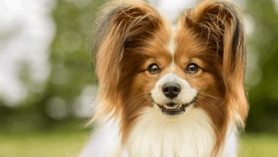 Kilolu Köpekler Nasıl Zayıflatılır?