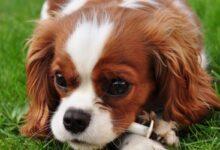 Köpeklerde Görülen Bulaşıcı Hastalıklar Ve Korunma Yolları