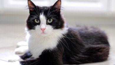 Smokin Kedisi (Tuxedo) Özellikleri ve Bakımı