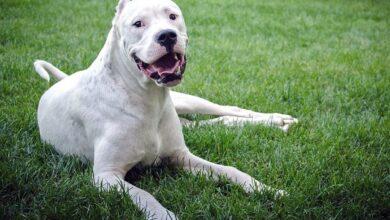 Dogo Argentino Özellikleri ve Bakımı