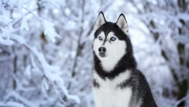 Sibirya Kurdu Özellikleri ve Bakımı (Husky)