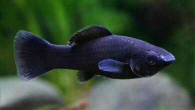 Siyah Moli Balığı Bakımı Ve Özellikleri
