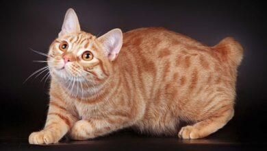 Manx Kedisi Özellikleri Ve Bakımı