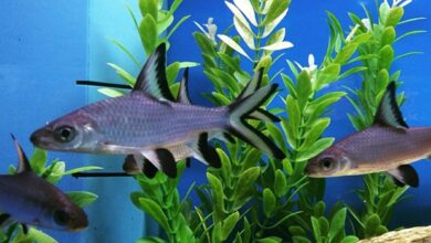 Kristal Köpek Balığı Özellikleri ve Bakımı