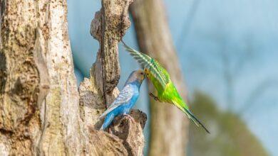 Muhabbet Kuşlarının Konuşturmak İçin İzleyeceğiniz Yollar
