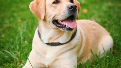 Labrador Retriever Bakımı Ve Özellikleri