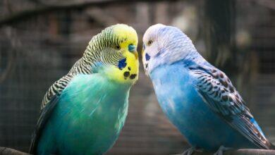 Muhabbet Kuşlarında Veba Hastalığı