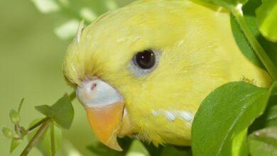 Muhabbet Kuşlarında Yumurta Ve Yavru Dönemi
