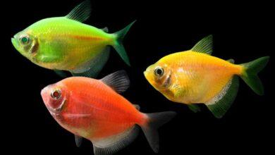 Neon Tetra Balığı Özellikleri Ve Bakımı