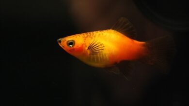 Plati Balığı Özellikleri Ve Bakımı