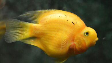Sarı Prenses Akvaryum Balığı