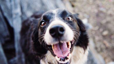 Köpeklerde Diş Temizliği