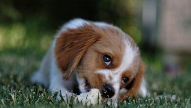 Köpeklerde Doğum Süreci Nasıl İlerler?