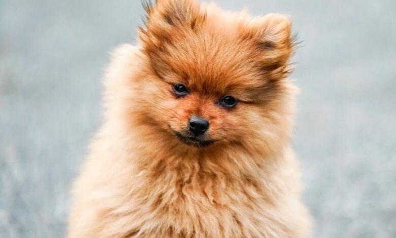 Köpeklerde Vajinal Kanama Neden Olur?