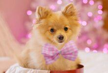 Köpeklerde Zehirlenme Belirtisi