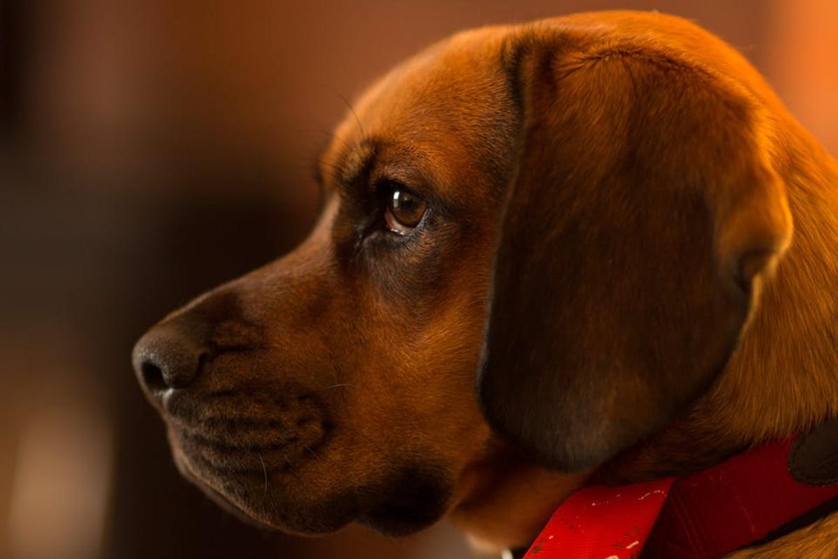 Köpeklerin Kulak Temizliğini Evde Yapabilmeniz İçin Yöntemler