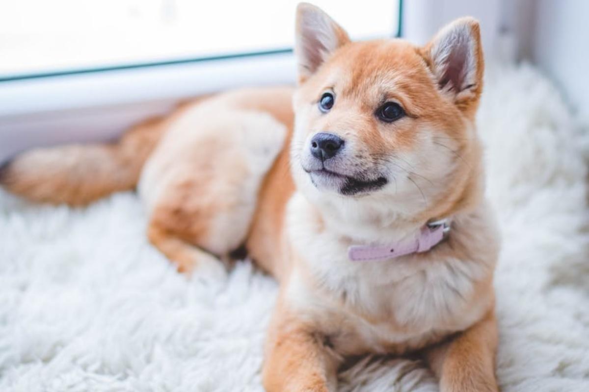 Köpeklerde Kemoterapi