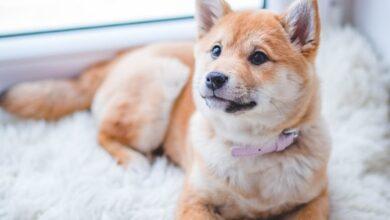 Köpeklerde Tümör ve Tedavisi