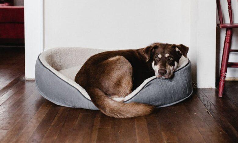 Köpeklerde Tüy Dökme Mevsimi