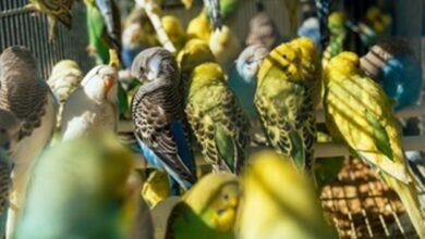 Muhabbet Kuşlarında Kuruma Hastalığı Nedir?