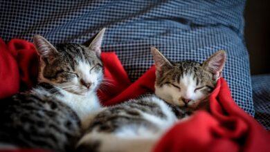 Kediler Sevilirken ve Uyurken Neden Hırlar?