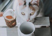 Kedilerde Gıda Alerjisi Tedavi Yöntemleri