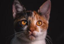 Kedilerde Gençlik Hastalığı Nedir?