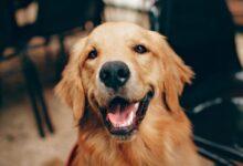 Köpek Dilinden Nasıl Anlarız?
