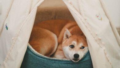 Köpeklerde Gençlik Hastalığı Nedir?
